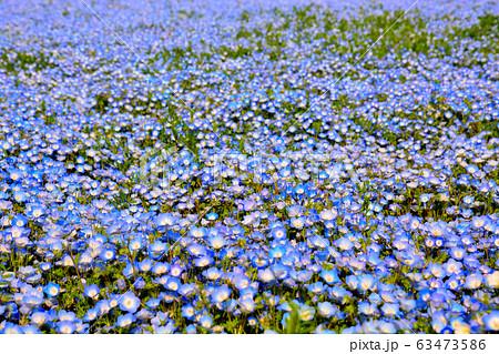 国営ひたち海浜公園・茨城・一面に咲く可憐なネモフィラ(1) 63473586
