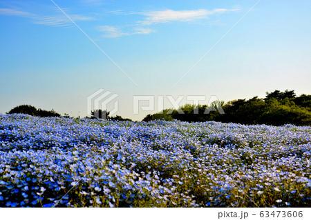 国営ひたち海浜公園・茨城・ネモフィラと空が織りなす青のハーモニー(13) 63473606