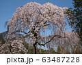 枝垂桜 63487228