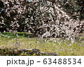 しだれ桜 63488534