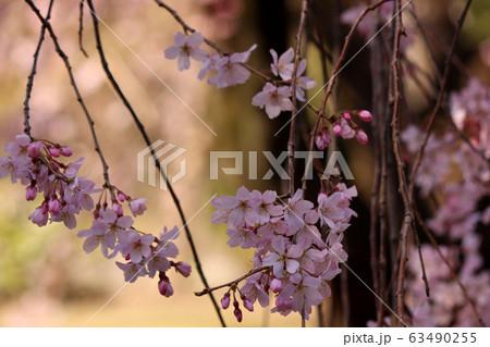 開花したシダレザクラの花びらと蕾(1) 63490255