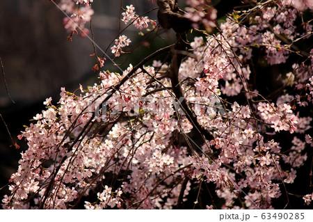 春の陽射しを浴びる六義園のシダレザクラ(7) 63490285