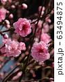 Spring Sakura cherry blossoms 63494875