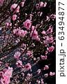 Spring Sakura cherry blossoms 63494877