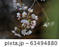 Spring Sakura cherry blossoms 63494880