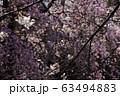 Spring Sakura cherry blossoms 63494883