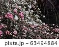 Spring Sakura cherry blossoms 63494884