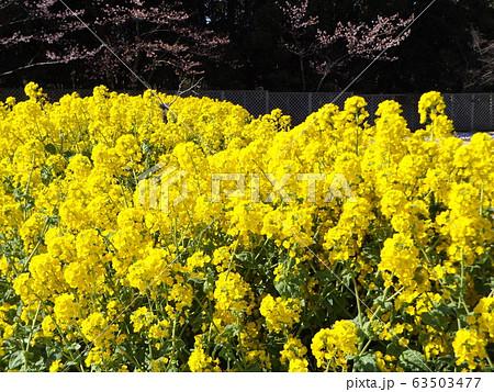 2月に満開になった早咲きナバナの黄色い花 63503477