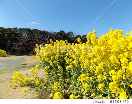 2月に満開になった早咲きナバナの黄色い花 63503479