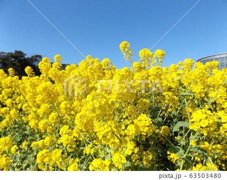 2月に満開になった早咲きナバナの黄色い花 63503480