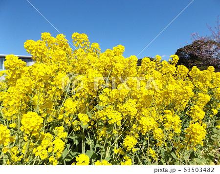 2月に満開になった早咲きナバナの黄色い花 63503482