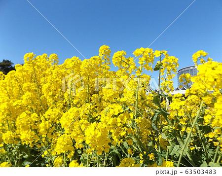2月に満開になった早咲きナバナの黄色い花 63503483
