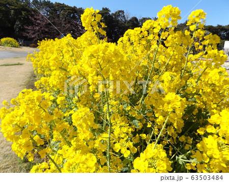 2月に満開になった早咲きナバナの黄色い花 63503484