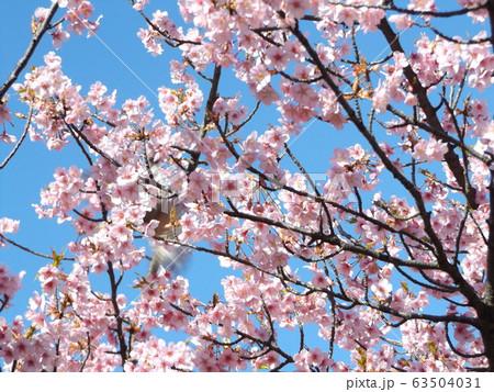 満開になった稲毛海岸駅前の河津桜の桃色の花 63504031