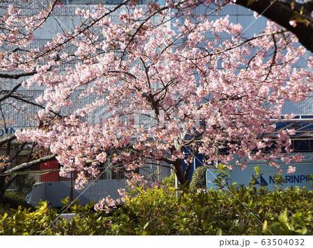 満開になった稲毛海岸駅前の河津桜の桃色の花 63504032