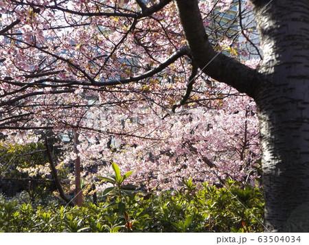 満開になった稲毛海岸駅前の河津桜の桃色の花 63504034
