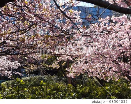 満開になった稲毛海岸駅前の河津桜の桃色の花 63504035