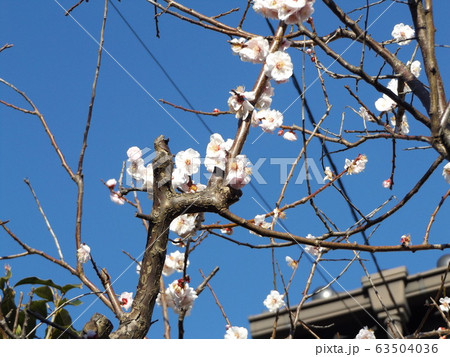 我が家の梅の花が満開です 63504036