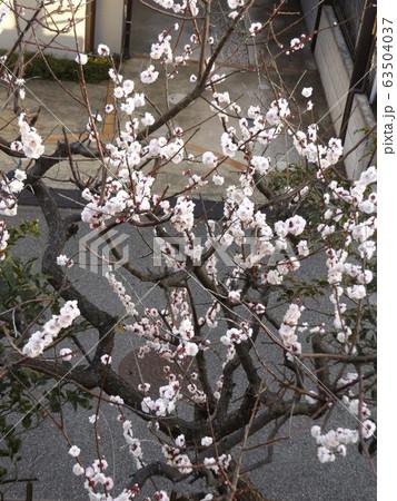 我が家の梅の花が満開です 63504037