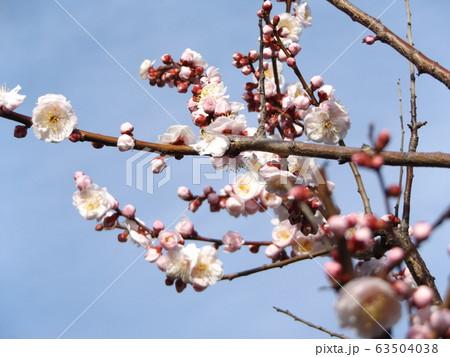 我が家の梅の花が満開です 63504038