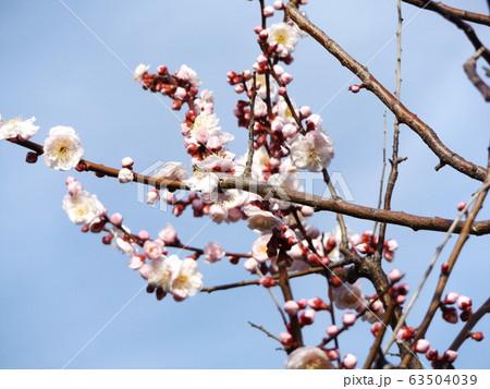 我が家の梅の花が満開です 63504039