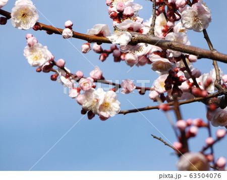 我が家の梅の花が満開です 63504076