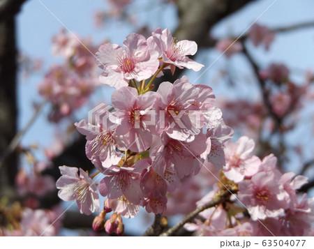 満開になった稲毛海岸駅前の河津桜の桃色の花 63504077