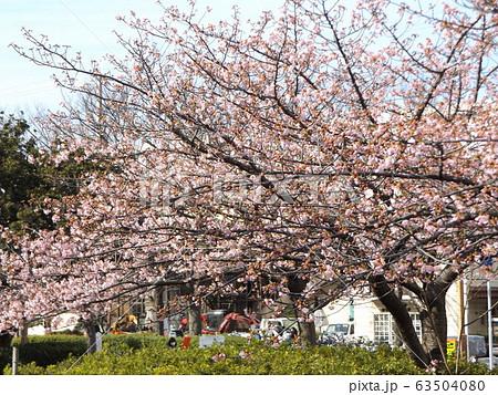 八分咲きの稲毛海岸駅前の河津桜の桃色の花 63504080
