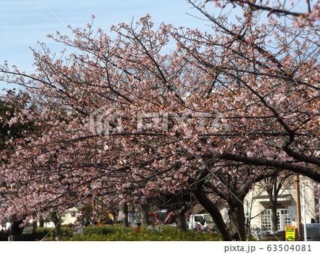 八分咲きの稲毛海岸駅前の河津桜の桃色の花 63504081