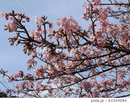 八分咲きの稲毛海岸駅前の河津桜の桃色の花 63504084