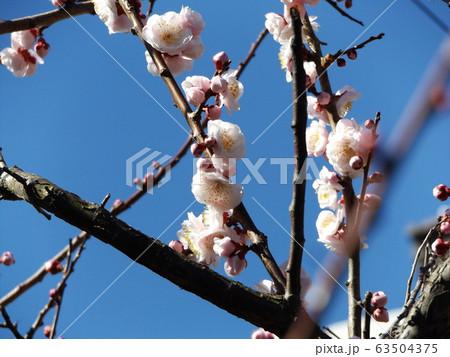 我が家の梅の花が八分咲きです 63504375