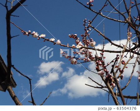我が家の梅の花が八分咲きです 63504376