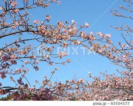 五分咲きの稲毛海岸駅前の河津桜の桃色の花 63504377