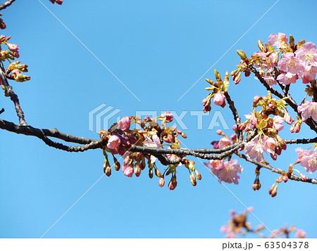 五分咲きの稲毛海岸駅前の河津桜の桃色の花 63504378