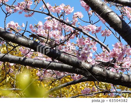 五分咲きの稲毛海岸駅前の河津桜の桃色の花 63504382