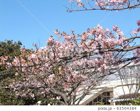 五分咲きの稲毛海岸駅前の河津桜の桃色の花 63504384