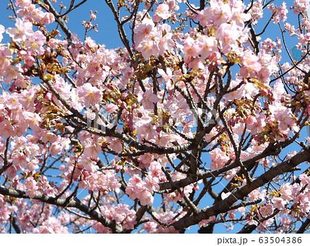 五分咲きの稲毛海岸駅前の河津桜の桃色の花 63504386