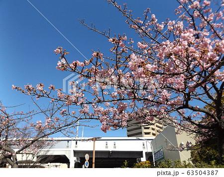 五分咲きの稲毛海岸駅前の河津桜の桃色の花 63504387