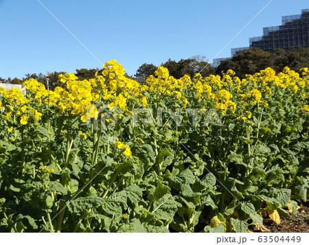 2月に満開になった早咲きナバナの黄色い花 63504449