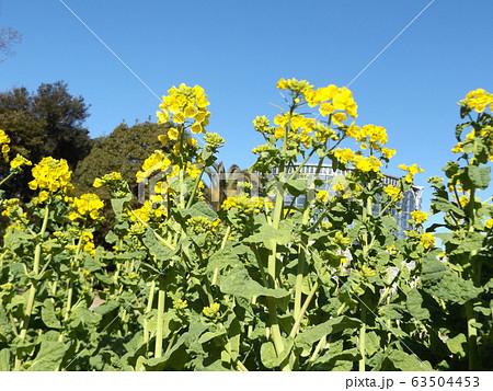 2月に満開になった早咲きナバナの黄色い花 63504453