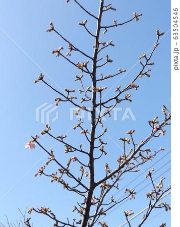 咲き始めた稲毛海岸駅前の河津桜の桃色の花 63504546