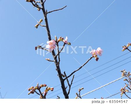 咲き始めた稲毛海岸駅前の河津桜の桃色の花 63504547