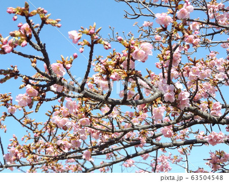 咲き始めた稲毛海岸駅前の河津桜の桃色の花 63504548