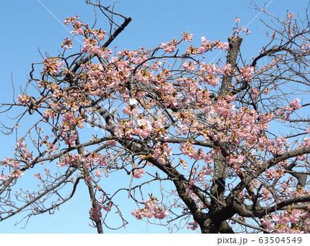 咲き始めた稲毛海岸駅前の河津桜の桃色の花 63504549
