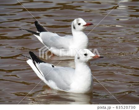稲毛海浜公園に来た冬の渡り鳥ユリカモメ 63520730