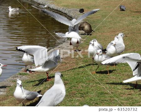 稲毛海浜公園に来た冬の渡り鳥ユリカモメ 63520732