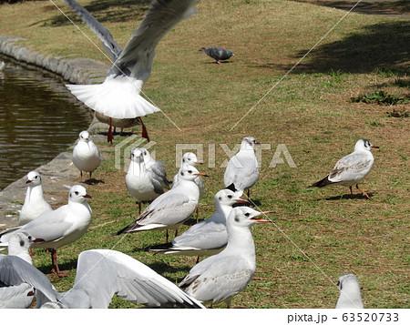 稲毛海浜公園に来た冬の渡り鳥ユリカモメ 63520733