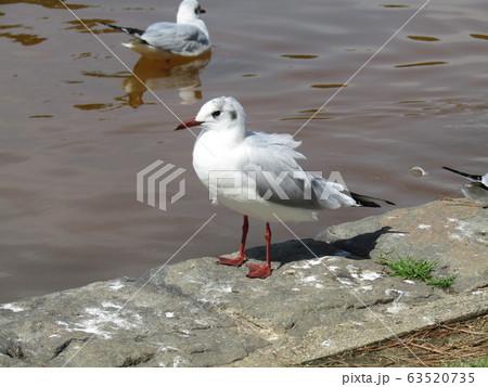 稲毛海浜公園に来た冬の渡り鳥ユリカモメ 63520735