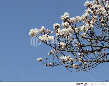 咲き始めた白い桜はオオシマザクラ 63522375