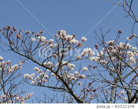 咲き始めた白い桜はオオシマザクラ 63522376